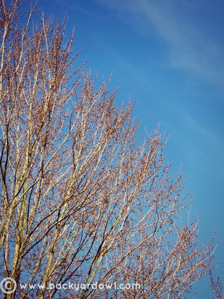 tree buds 30x30.2